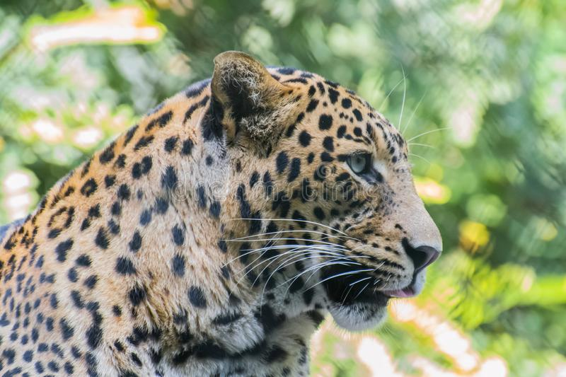 Indian leopard face and whiskers stock photos