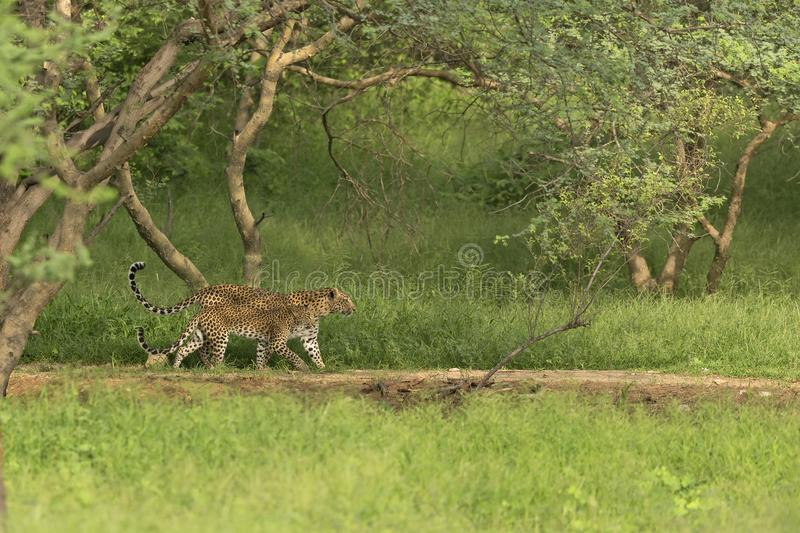 An Indian Leopard mother and her cub walking in unison inside an Indian Jungle royalty free stock photo
