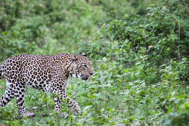 Indian leopard On A Move royalty free stock image