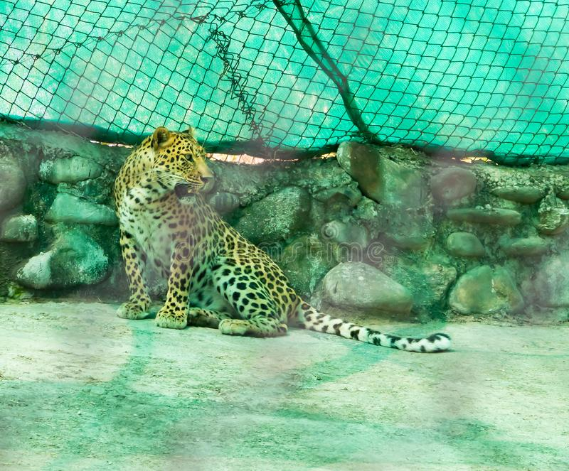 Indian Leopard or Panthera pardus fusca sitting with turned face and opened mouth on concrete floor in chhatbir zoo, India royalty free stock image