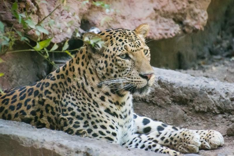 Indian Leopard sitting near the den stock photo
