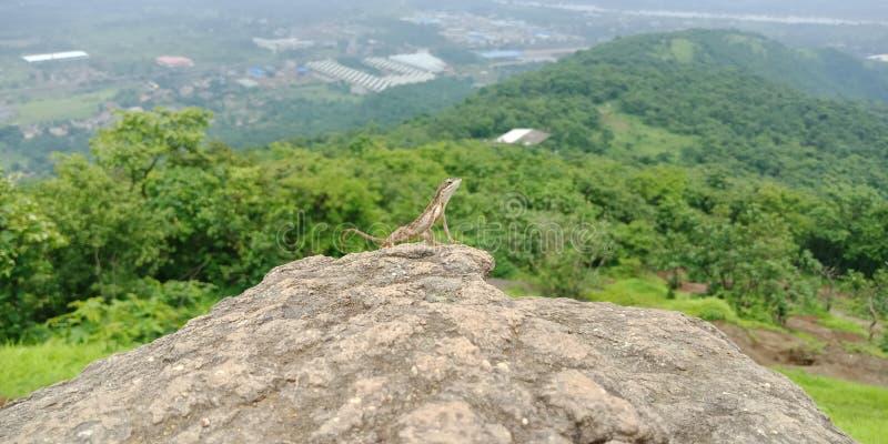 Indian Lizard stock image