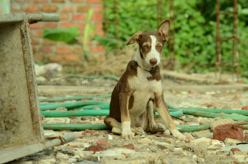 Indian locale dog royalty free stock image