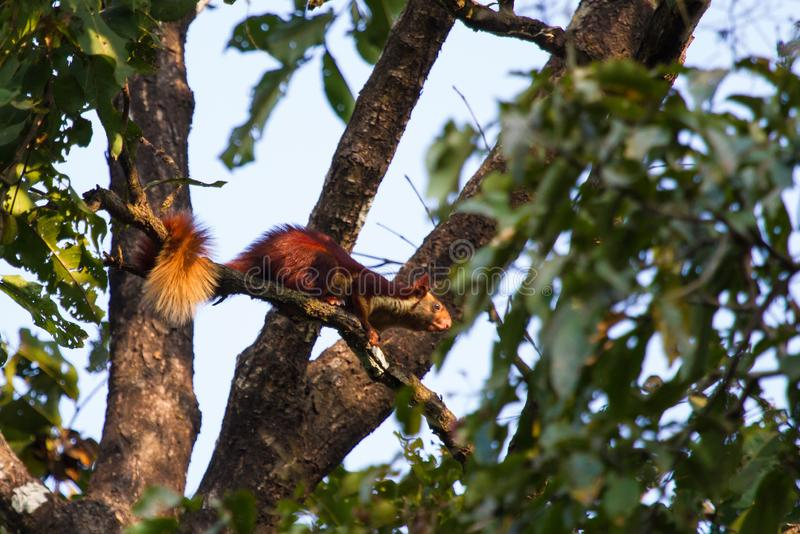 Malabar giant squirrel Ratufa indica hopping on the branch. Indian or Malabar giant squirrel Ratufa indica is a rufous reddish colored squirrel usually roam royalty free stock photo