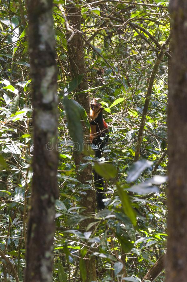 Indian Malabar giant squirrel, on the tree in Periyar Forest. The Indian giant squirrel, or Malabar giant squirrel, is a large tree squirrel species genus Ratufa stock photography