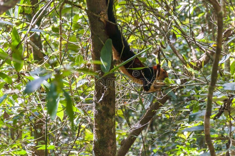 Indian Malabar giant squirrel, on the tree in Periyar Forest. The Indian giant squirrel, or Malabar giant squirrel, is a large tree squirrel species genus Ratufa stock photos