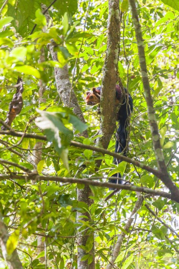 Indian Malabar giant squirrel, on the tree in Periyar Forest. The Indian giant squirrel, or Malabar giant squirrel, is a large tree squirrel species genus Ratufa stock image