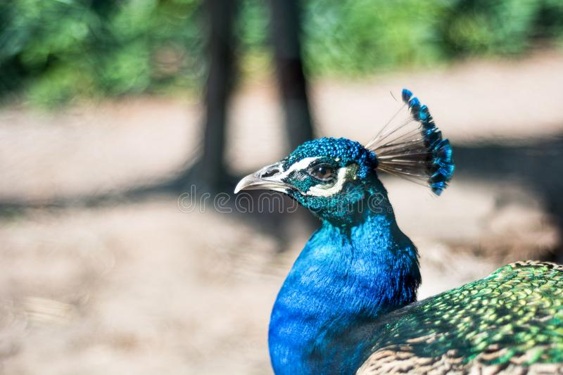 Indian male peafowl or peafowl blue head on blurred background in nature stock photos