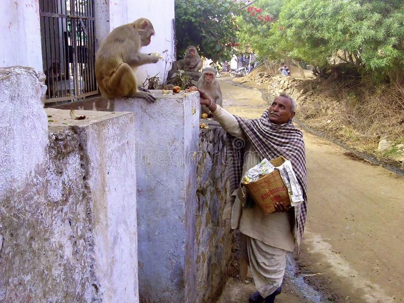 Indian man feeding monkeys, Rajastan. Man feeding monkeys on the street of Anda Gwada village, India, Rajastan state stock photography