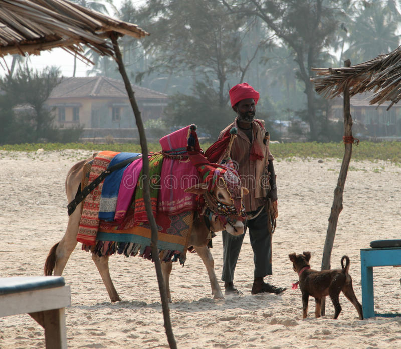 Indian man with holy indian cow decorated with colorful cloth and jewelry on the beach of Southern Goa stock photos