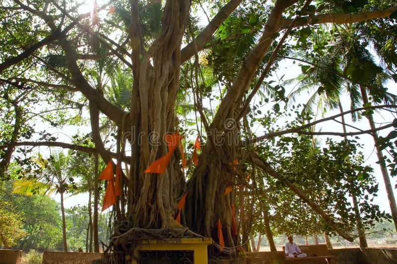 Indian man sitting near big banyan royalty free stock photography