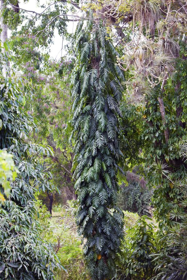 Indian mast tree polyalthia longifolia , the False ashoka royalty free stock photos
