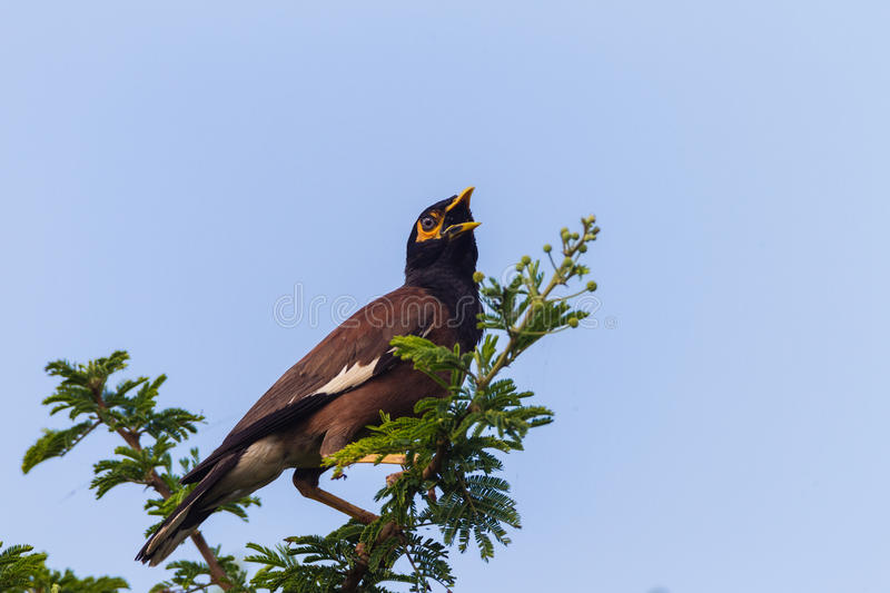 Download Indian Minor Bird Tree stock photo. Image of minor, blue - 28608696