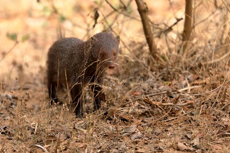 Indian Mongoose in Yala National Park in Sri Lanka royalty free stock photography