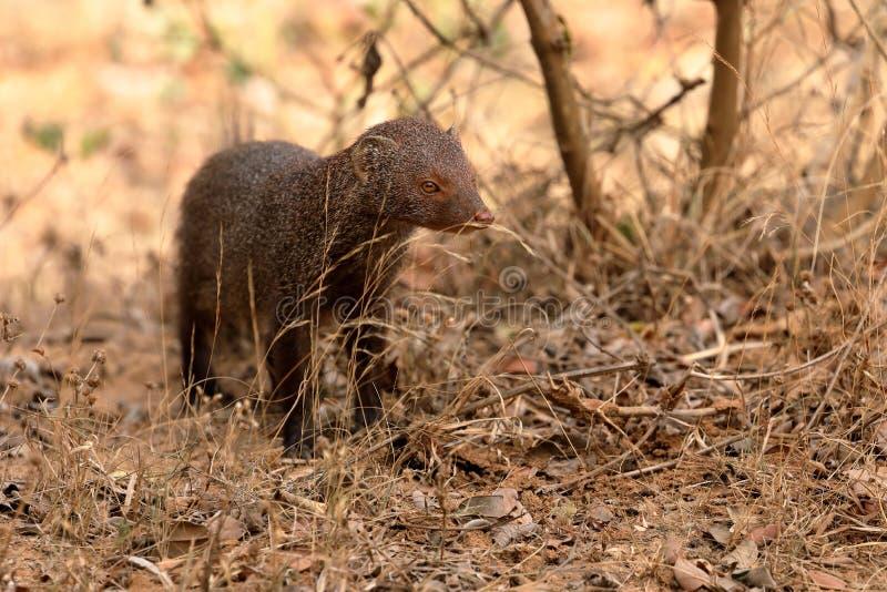 Indian Mongoose in Yala National Park in Sri Lanka stock image