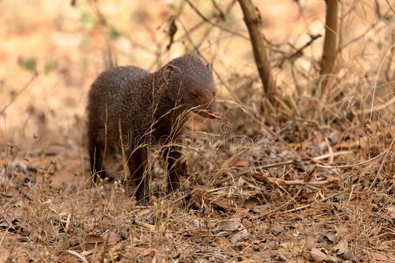 Indian Mongoose in Yala National Park in Sri Lanka royalty free stock photo