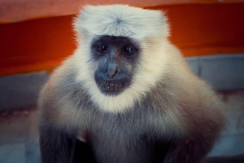 Indian Monkey royalty free stock images