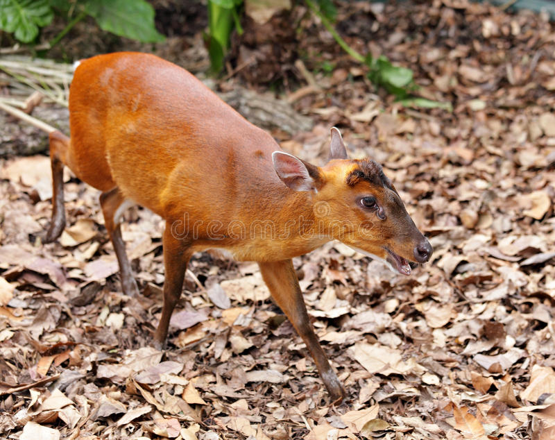 Indian Muntjac royalty free stock photography
