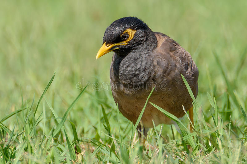 Download Indian Myna Bird stock photo. Image of indian, brown - 90979660