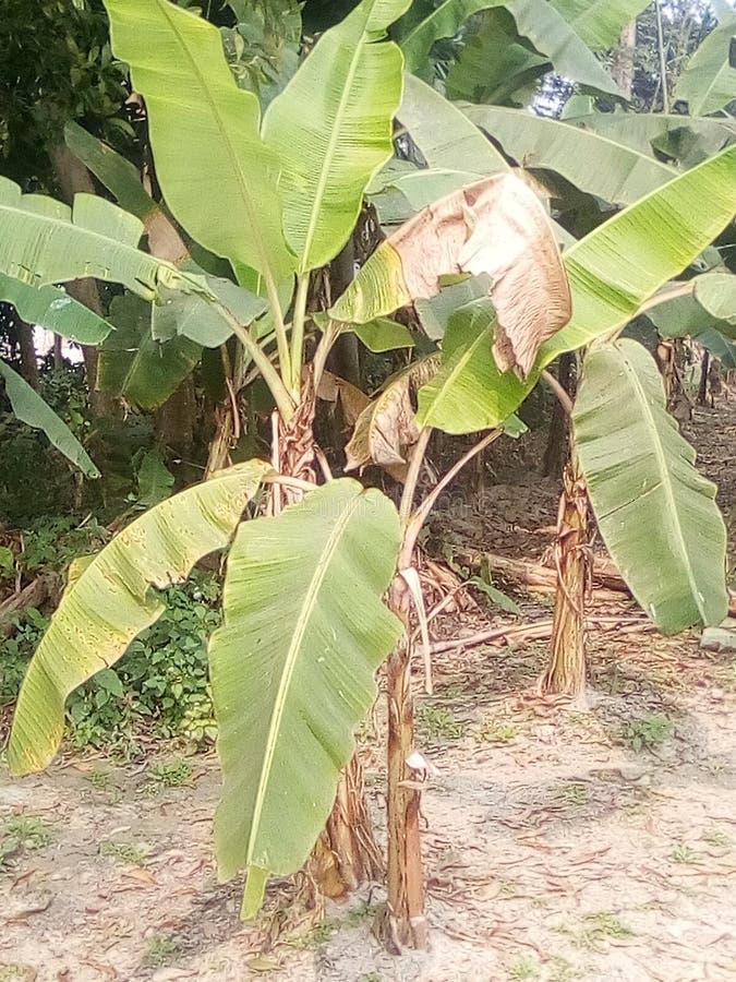 Indian nice banana tree with green colour stock photo
