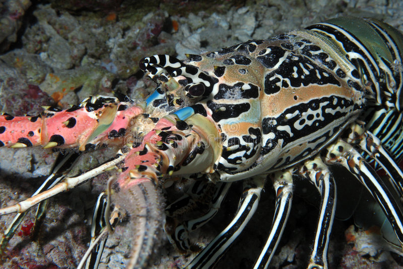 Indian Ocean Lobster royalty free stock images