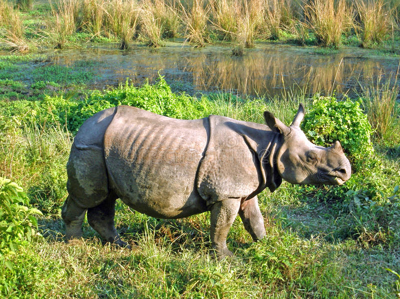 Indian one horned rhinoceros stock image