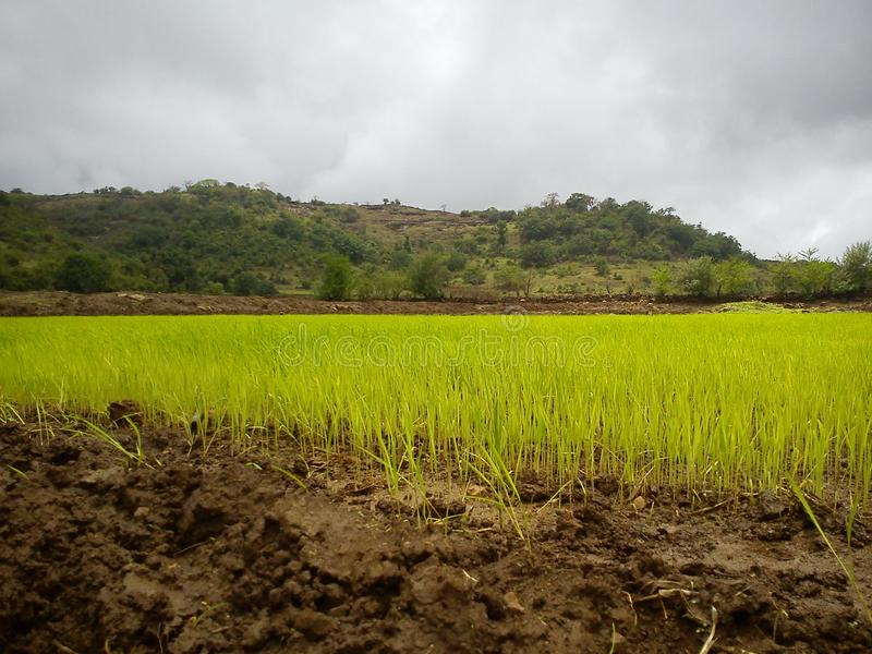 Paddy/Rice fields in monsoon stock images