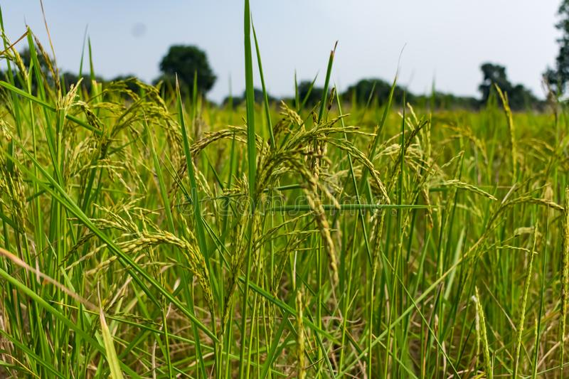 Indian paddy farm close view looking awesome before harvesting. stock photos