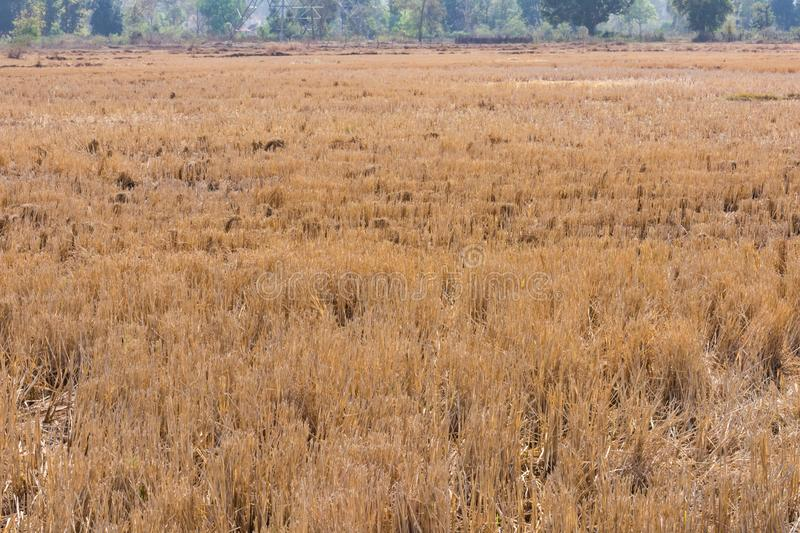 Indian paddy straw at close view looking awesome in an Indian paddy farming field. stock photos