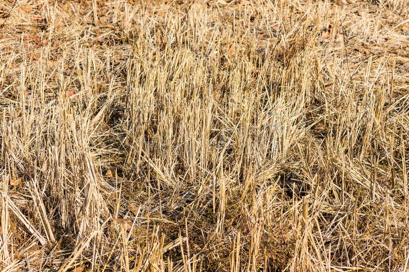 Indian paddy straw at close view looking awesome in a indian paddy farming field. stock photos