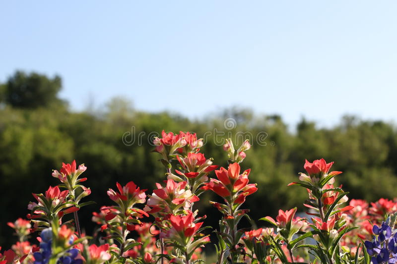 Indian Paint Brush. Flower featuring Texas` state flower, the bluebonnet stock photography