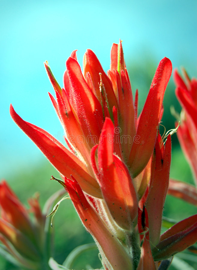Indian Paintbrush. Scarlet wildflower of New Mexico called an Indian Paintbrush royalty free stock photo