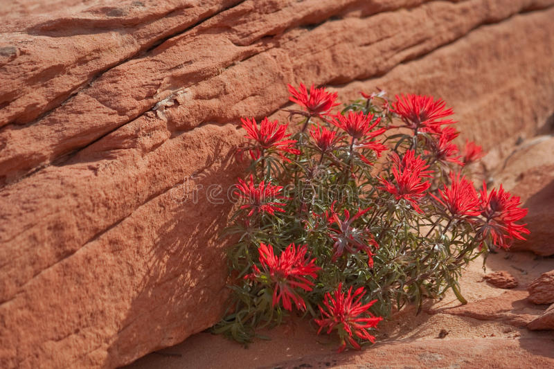 Indian Paintbrush. At Coyote Butte North, AZ royalty free stock photo