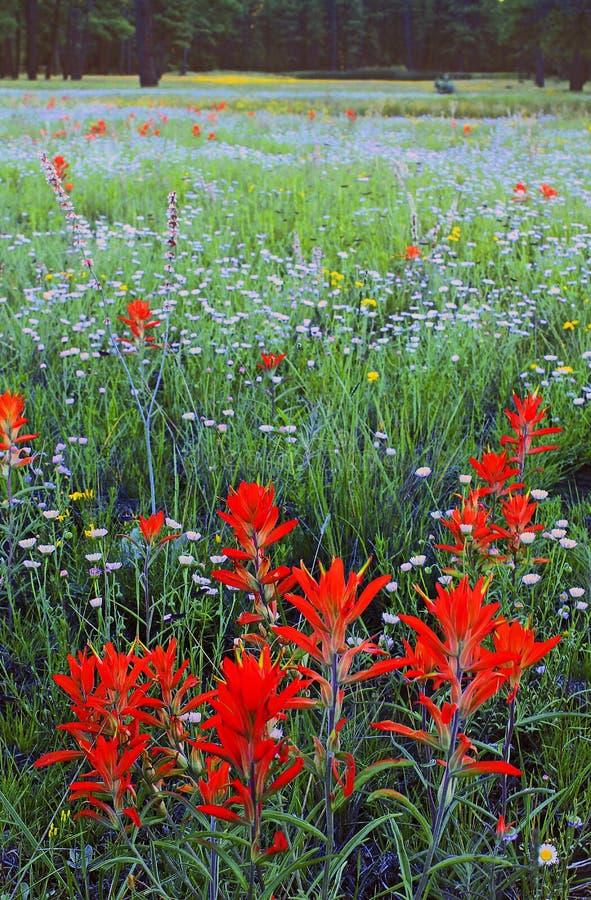 Indian Paintbrush, Coconino National Forest, AZ stock image