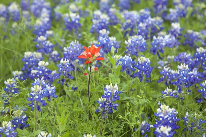 Indian Paintbrush flower among Texas Bluebonnets stock photos