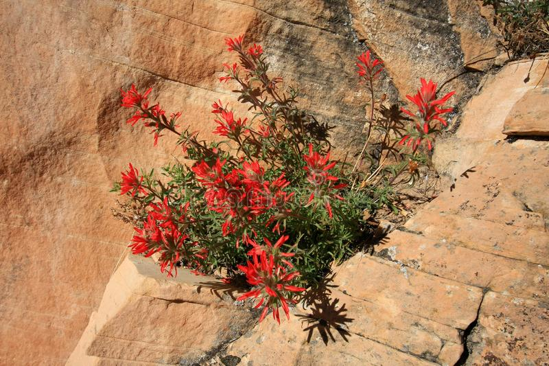 Indian Paintbrush flowers in Grand Canyon National Park. stock image