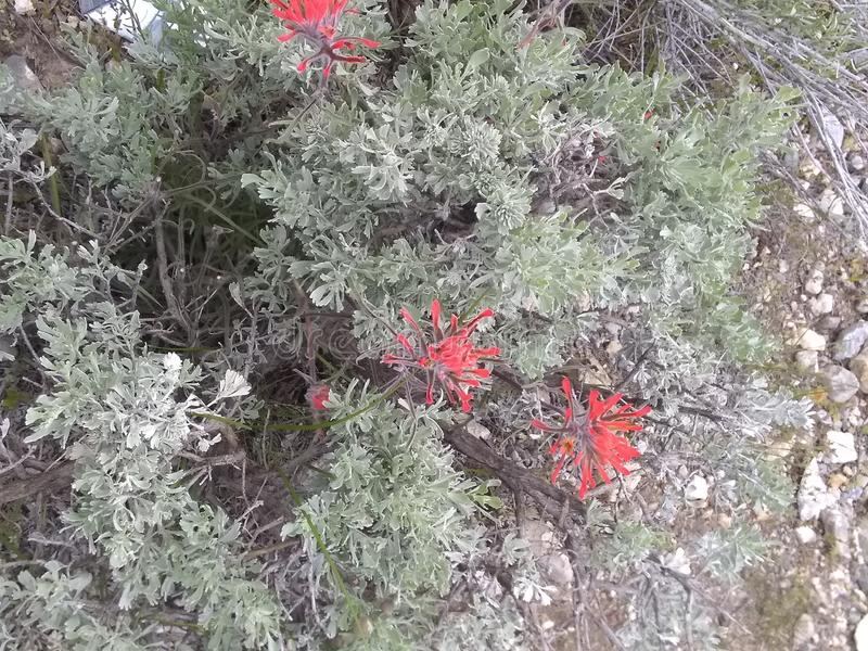 Indian paintbrush green leaves d stock images