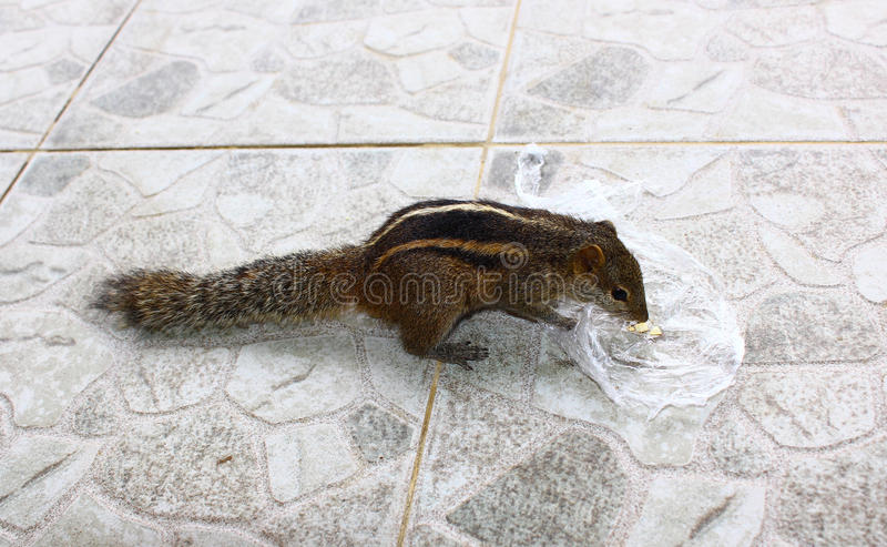 Indian palm squirrel eats nuts. Indian palm squirrel eating nut, close-up royalty free stock photography