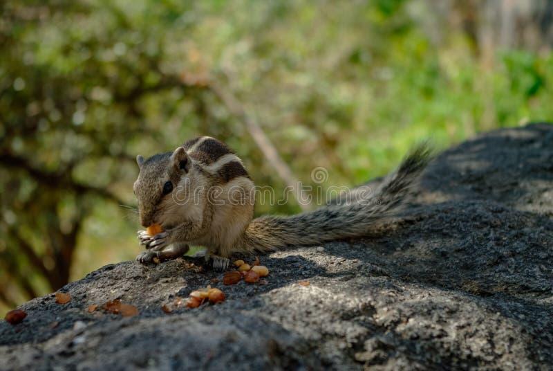 Indian palm squirrel Funambulus palmarum eat nuts at Ajanta c. Aves area, India royalty free stock photos