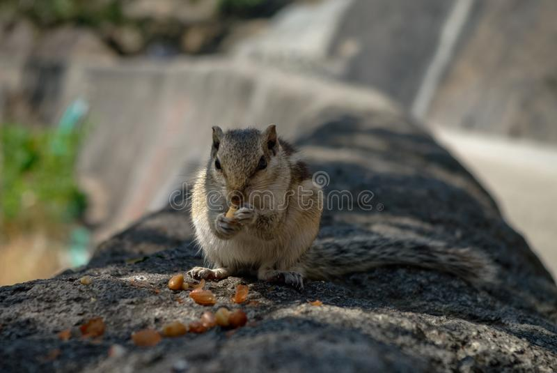 Indian palm squirrel Funambulus palmarum eat nuts at Ajanta c. Aves area, India stock image