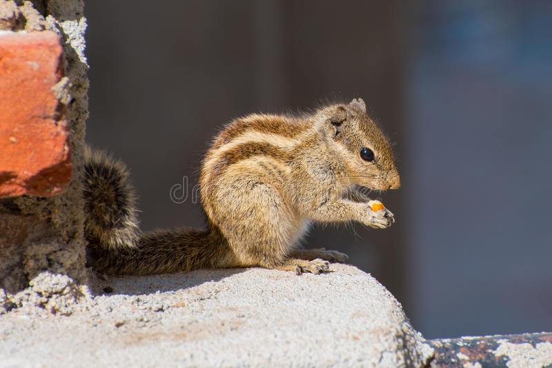 Indian palm squirrel (Funambulus palmarum) eats a nut. Photo has been taken in Udaipur, India stock image
