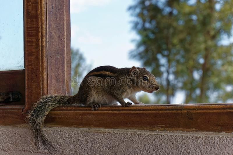 Indian Palm Squirrel. Looking for food (Sri Lanka Hill Country royalty free stock image