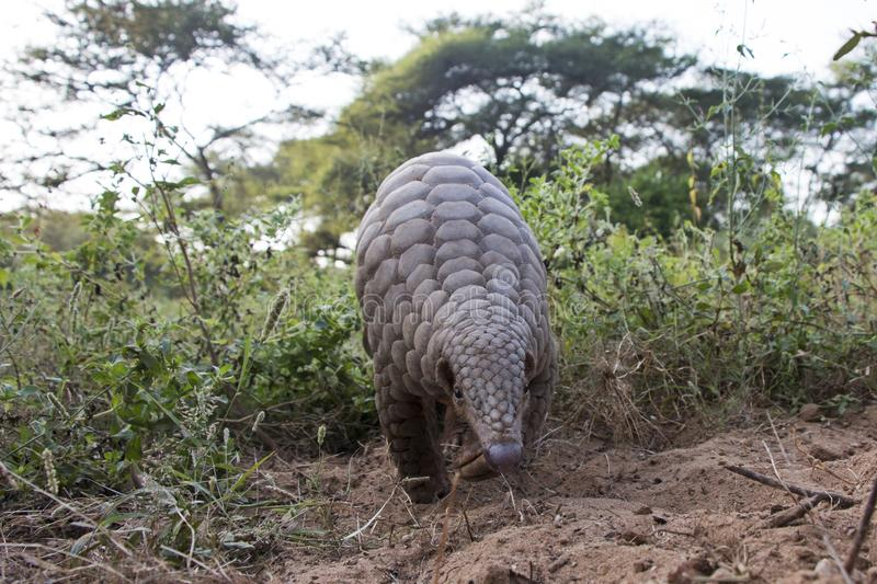 Indian pangolin or anteater or Kidikhau Manis crassicaudata in late evening passes by camera trap stock photo