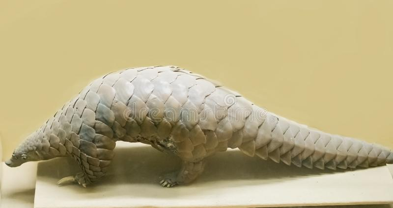 Indian pangolin preserved body. Indian pangolin or thick-tailed pangolin or scaly anteater Manis crassicaudata preserved body in the display gallery of stock photos