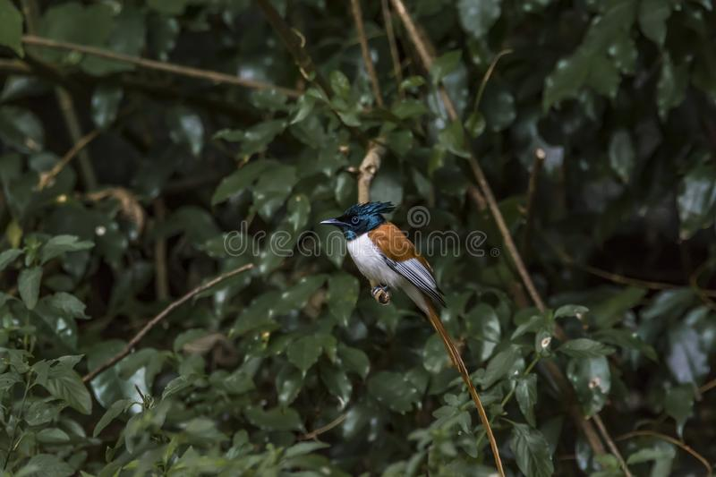 Rufous morph Indian paradise flycatcher or Terpsiphone paradisi royalty free stock photography