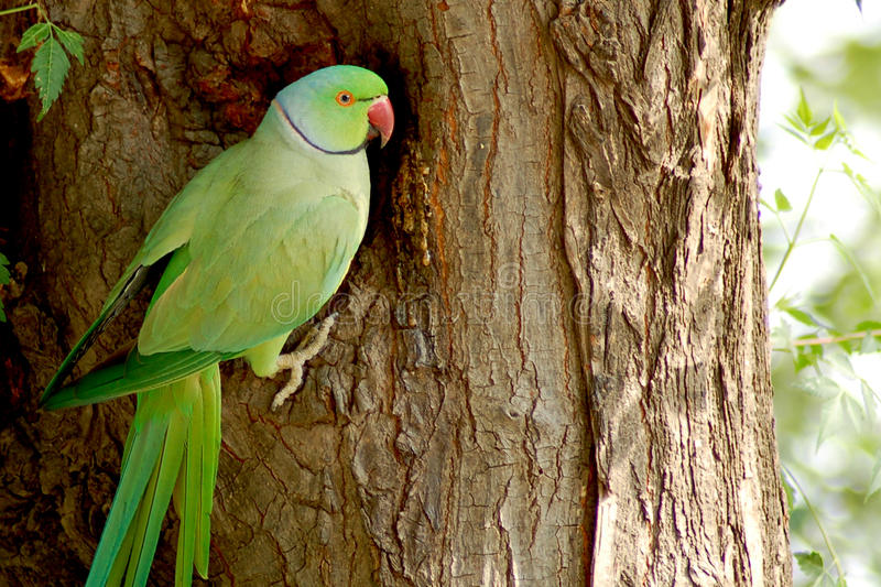 Download Indian parrot stock photo. Image of garden, feather, park - 9905492