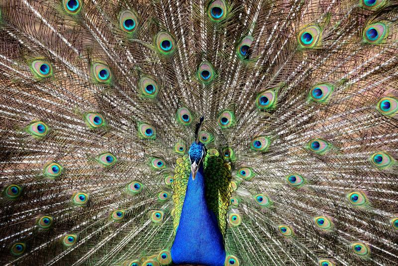 Indian Peacock on display royalty free stock image