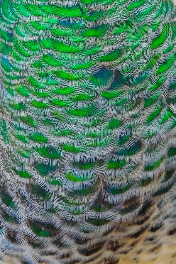 Indian peacock feathers showing patterns royalty free stock photos