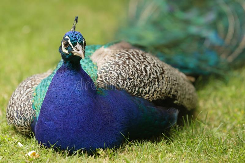 Indian Peacock In Meadow Stock Photography