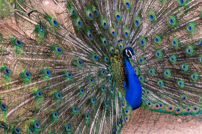 Indian Peacock Pavo cristatus male spreading its feathers showing off colours. For all to see royalty free stock photos